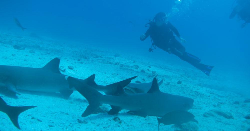 Mergulho e tubarões, tem gente que adora!