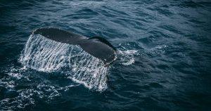 Conheça os melhores lugares para ver baleias no Brasil