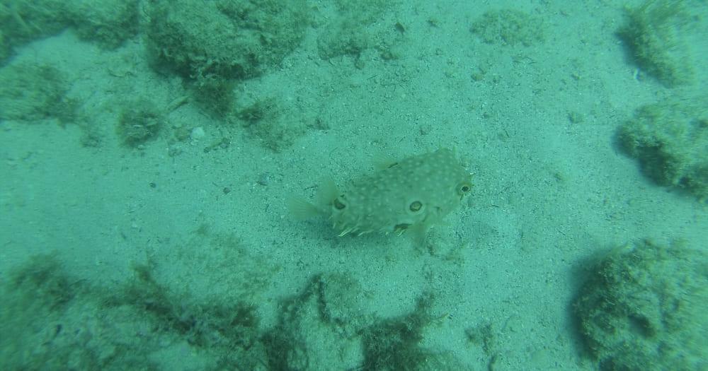 Baiacu-espinho é um dos animais marinhos que podem ser encontrados em Arraial do Cabo